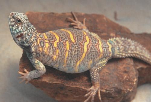 Keep Your Uromastyx Safe With The Right Substrate The