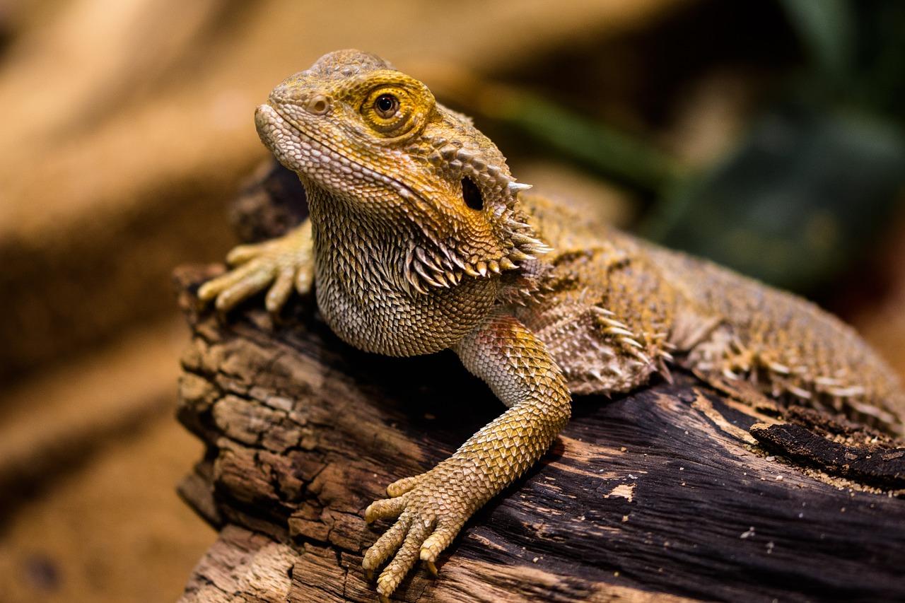 Rep Cal Srp00813 Juvenile Bearded Dragon Pet Food
