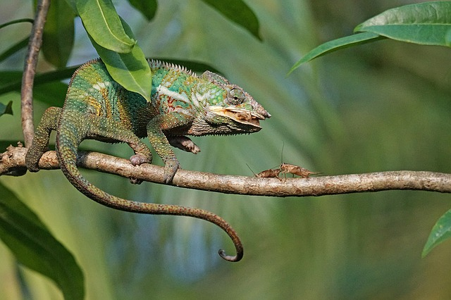 Photo of chameleon eating crickets