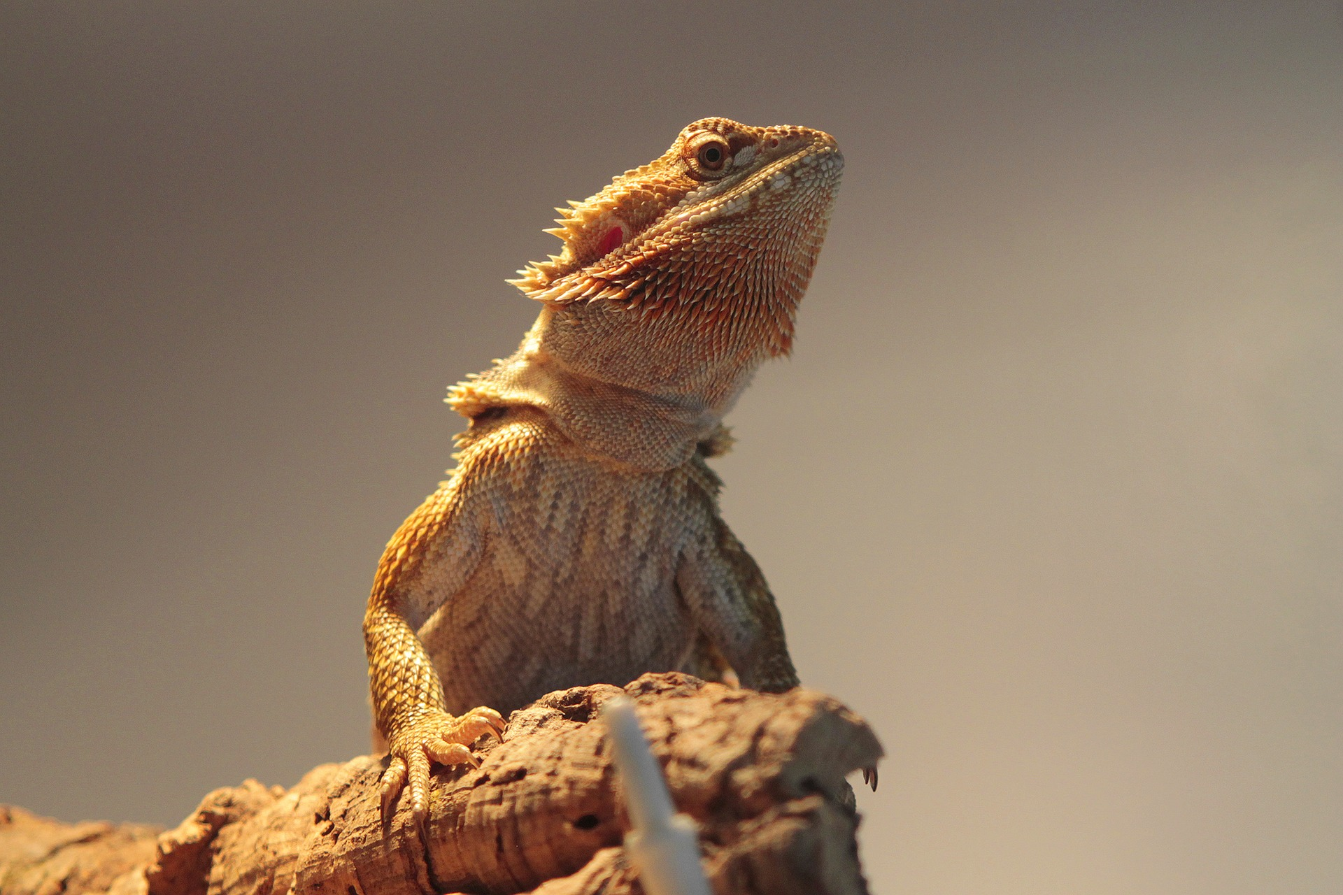 Everything you want to know about reptile brumation the - Bearded dragon yawn ...