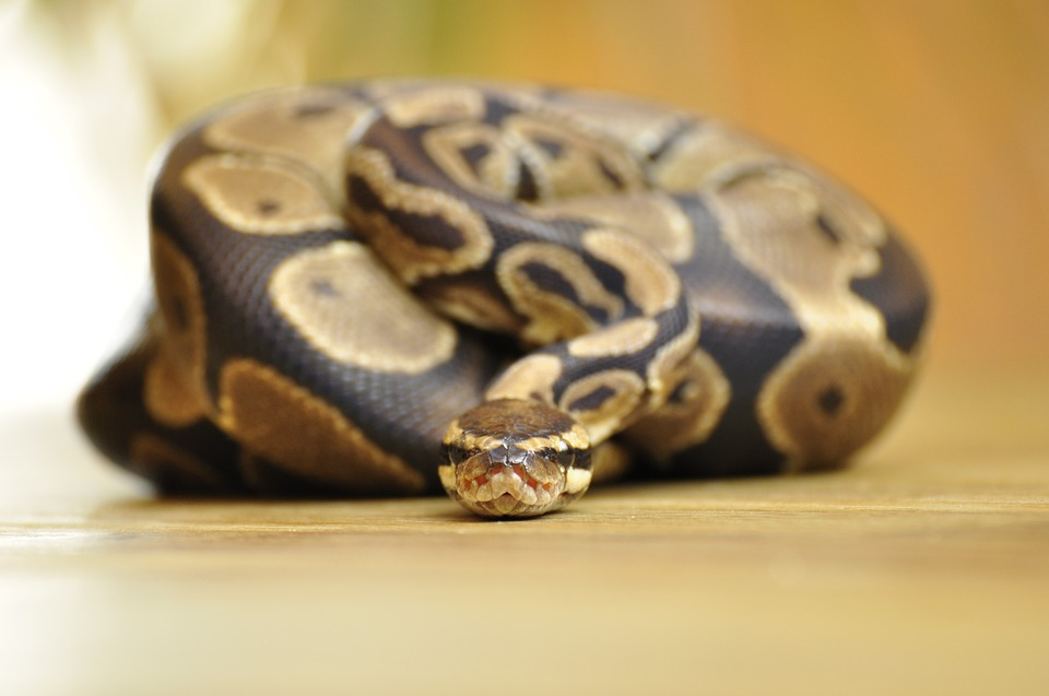 Ball python facing camera & Ball Pythons Arenu0027t Just for Beginners...Hereu0027s Why - The Tye-Dyed ...