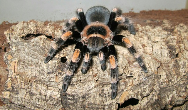 Photo of Mexican red knee tarantula in terrarium