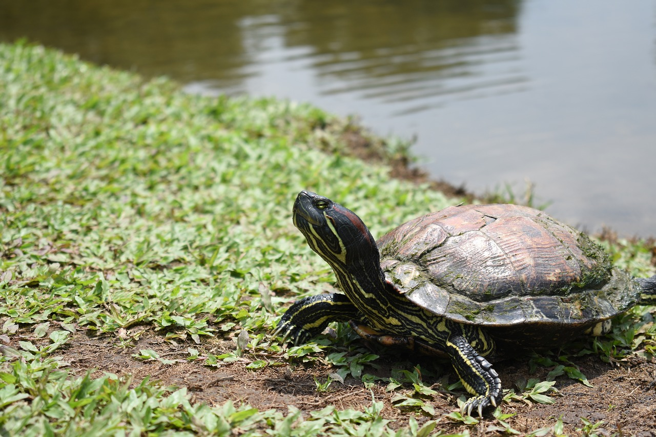 Photo of red-eared slider outside pond